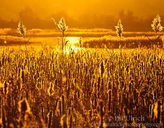 Golden back-lighting highlights cattails as the sun sets over a salt marsh