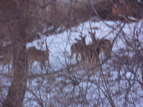 02.17.10 Deer in our Backyard