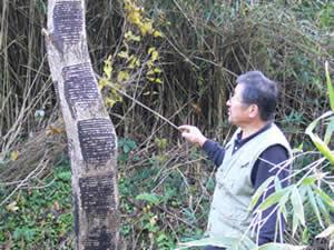 工房だより:今年漆を採取した木の掻き跡を説明してくださる、丹波漆生産組合の岡本さん