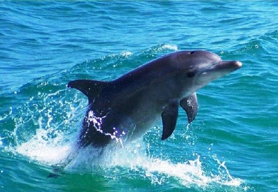 Στα ρηχά νερά της παραλίας Ύψου κολυμπάει ένα δελφίνι με τους παραθεριστές