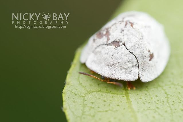 Tortoise Beetle (Cassidinae) - DSC_8149