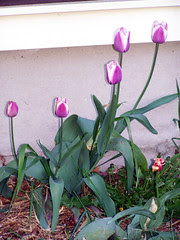 Tulips_51308