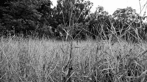 Yellowed grass