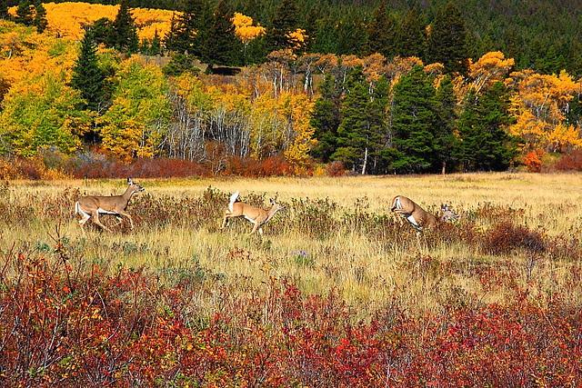 IMG_8266 White-Tailed Deer Running, Glacier National Park