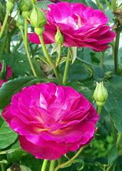 Roses_61810