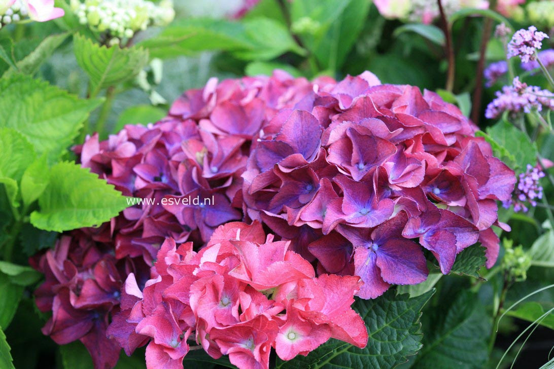 Pictures and description of Hydrangea macrophylla Red ...