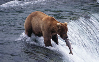 Photo of a bear catching a salmon in the rapids of a river.