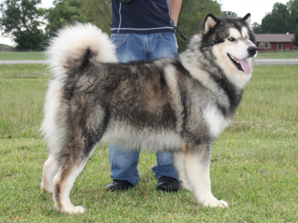 Alaskan Malamute Breed Guide  Learn about the Alaskan Malamute.