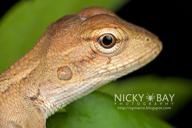 Changeable Lizard (Calotes versicolor) - DSC_1440