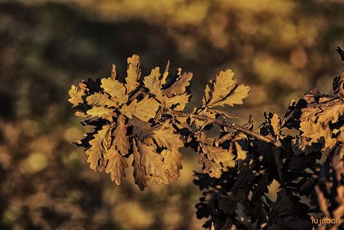 oak at sunset... by lujaban