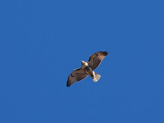 Red-Tail over Morningside Park