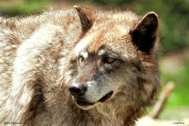 Your wolf name pack rank and wolf personality Quiz at Quiztron