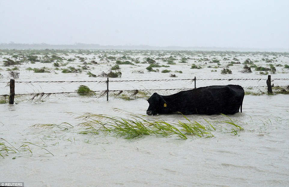 Une vache lutte pour garder sa tête au-dessus des eaux de crue pendant l'ouragan Harvey près de Fulton, au Texas, samedi