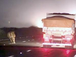 Vaca estava solta na BR-290 (freeway) na altura de Glorinha (Foto: Reprodução/RBS TV)