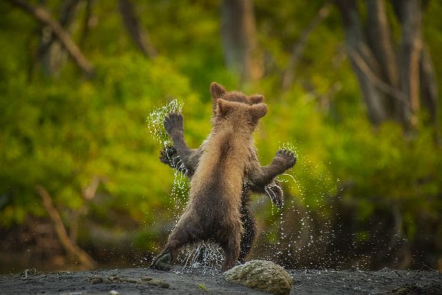 Two Kamchatka bear cubs square up for a celebratory play fight having successfully navigated a raging torrent (small stream!) Image Courtesy: Andy Parkinson/Comedy Wildlife Photography Awards 2021