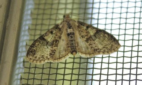 Splendid palpita moth (Palpita magniferalis)