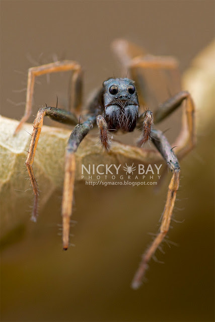 Wolf Spider (Lycosidae) - DSC_3415