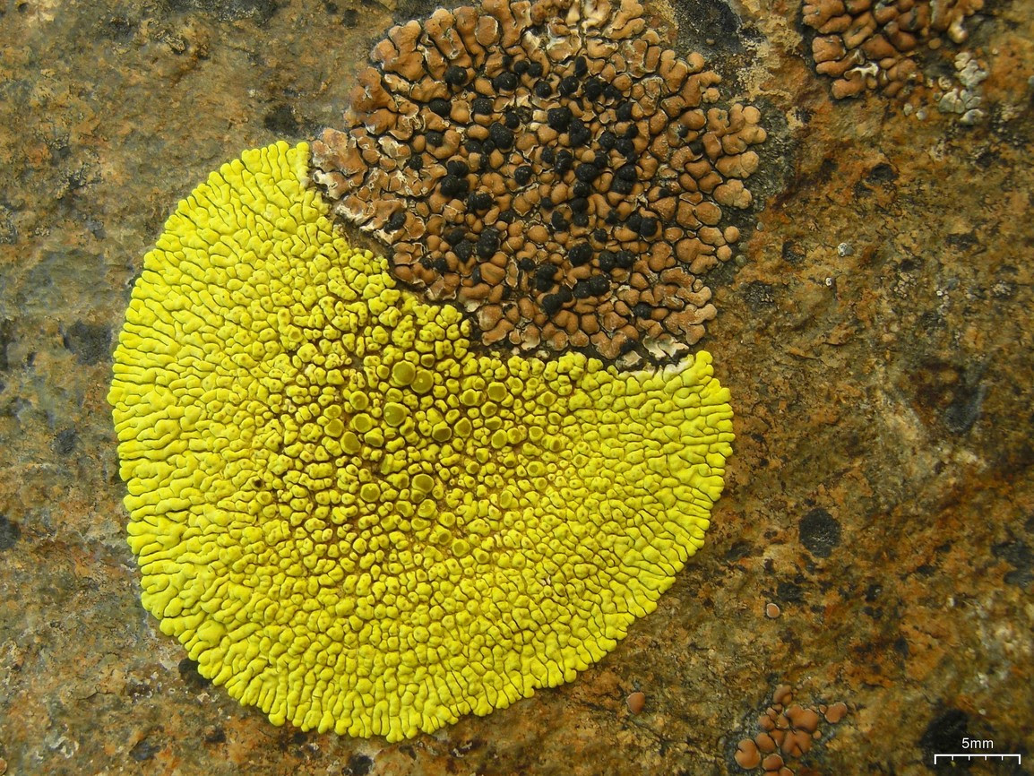 http://upload.wikimedia.org/wikipedia/commons/6/65/Brown_Tile_and_Gold_Cobblestone_Lichens_%285037667763%29.jpg