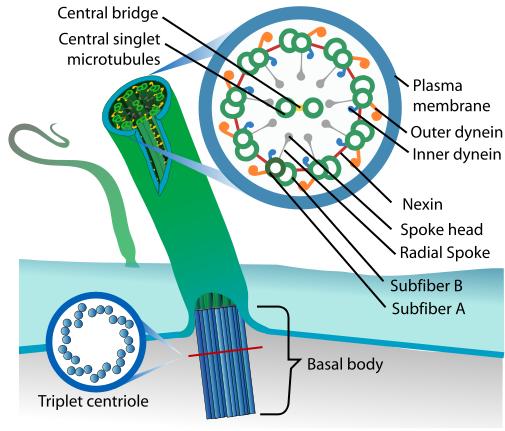 File:Eukaryotic cilium diagram en.svg