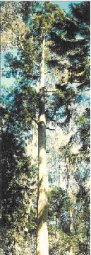 Eucalyptus diversicolor.jpg