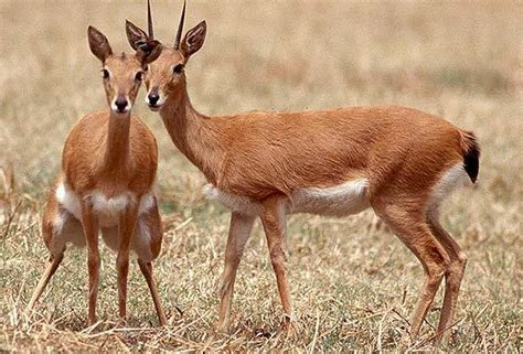 Oribi   Antelope   South Africa