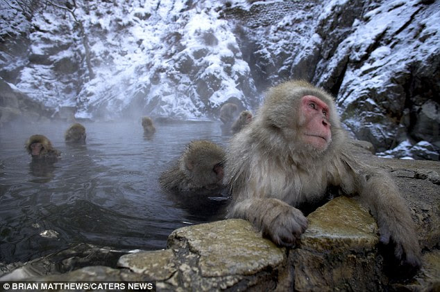 This snow monkey photographed in the Far East bears a striking resemblance to the mythical creature known as the Abominable Snowman or Yeti