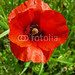 #Red #Spring #Poppy #Close_Up