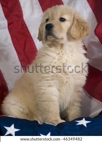 golden retriever puppy wallpaper. Golden Retriever Puppy (8