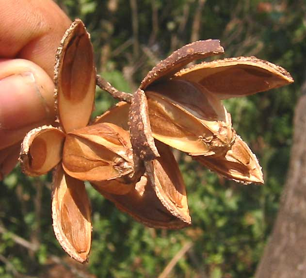 File:Cedrela odorata-fruit.jpg