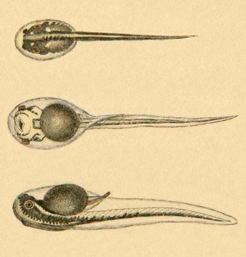 Hyla arborea - Tadpole (detail manipulated)