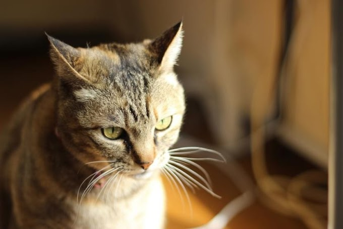 PIF en gatos, una enfermedad potencialmente mortal