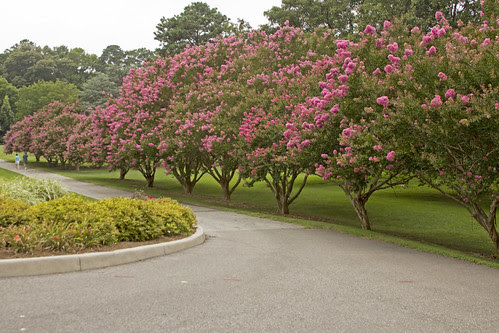 Crape Myrtles in Bloom by bahayla