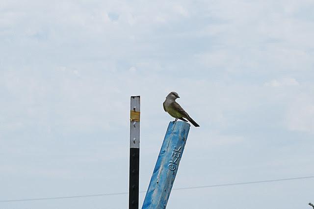 IMG_4481WesternKingbird