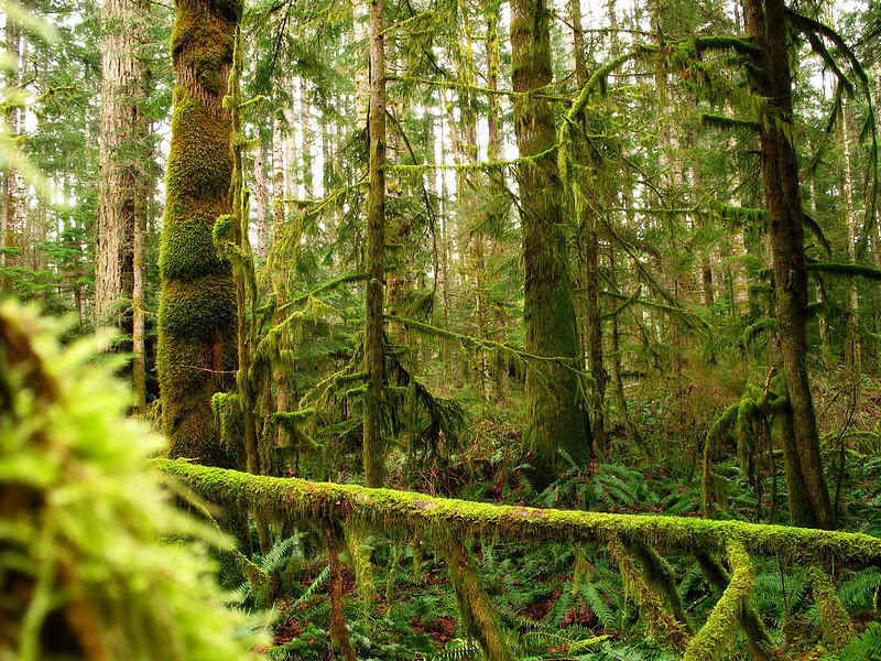 File:Mossy trees Vancouver Island.jpg