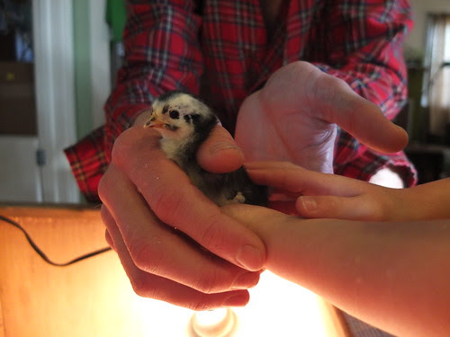 holding the chicks