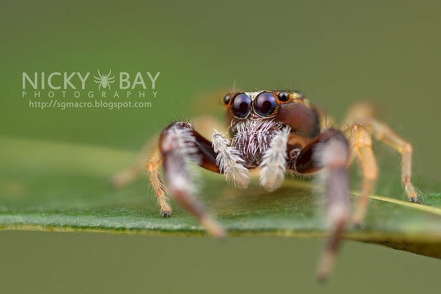 Jumping Spider (Salticidae) - DSC_7459