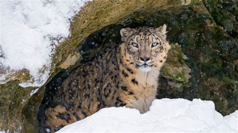 wallpaper villy snow leopard cave snow  animals