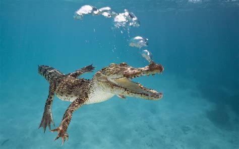 wallpaper crocodile calf swim underwater bubbles