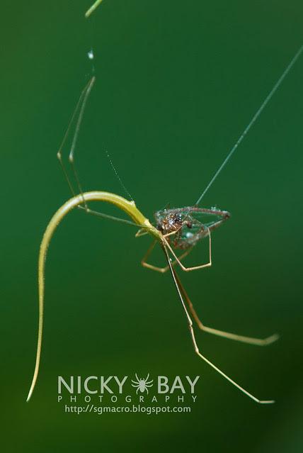 Whip Spider? (Ariamnes flagellum) - DSC_7284