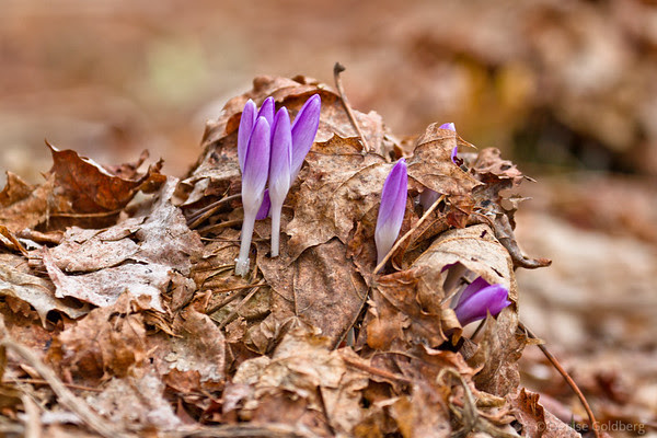 crocus in light purple pushing through last season's dead leaves