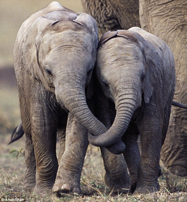 Young African elephants with their trunks entwined in Masai Mara, Kenya