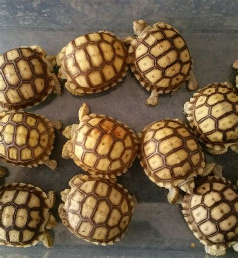 Baby Sulcata Tortoise For Sale   Free Shipping
