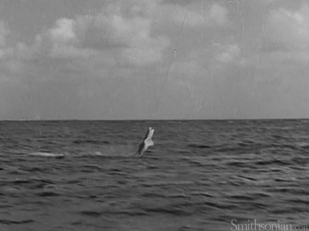 Tubarão se debate, mas acaba sendo pescado por dirigível em Miami (Foto: Smithsonian.com/Reprodução)