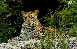 Leopardo indio 7.png
