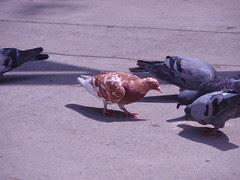 mutant pigeon