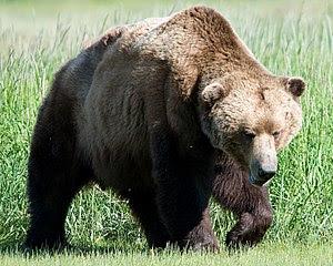 Seekor beruang Kodiak (U. arctos middendorffi) di Taman Negara Katmai, Alaska