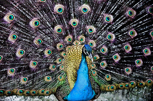 Orillia - Langman Sanctuary Peacock