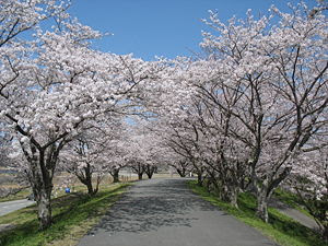 "Cherry Blossom ""Tunnel"" along the Mi..."