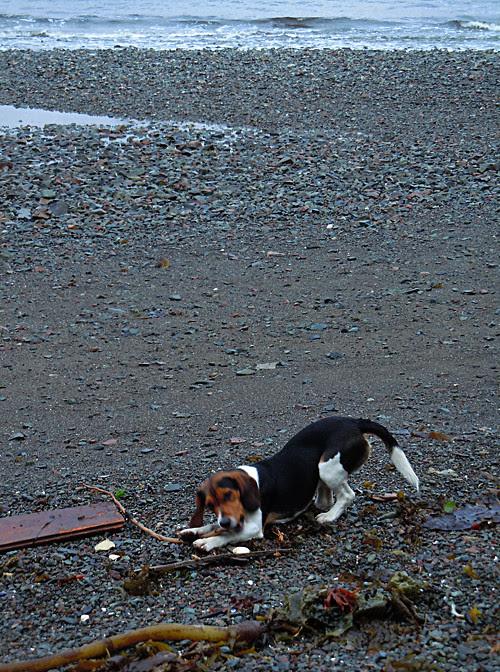 Charlie the beagle chews a stick on the beach, Kasaan, Alaska