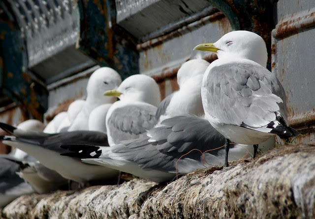 24110 - Kittiwake on Mumbles Pier